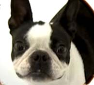 Boston Terrier up close picture