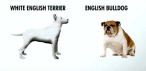 Picture of English Bulldo and White English Terrier
