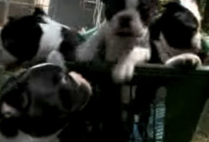 3 Boston Terrier Puppies in Basket