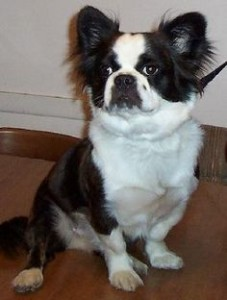 Boston Terrier Hybrid Mix Types And Pictures