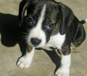 boston terrier and beagle mix boston terrier hybrid mix types and pictures 9221